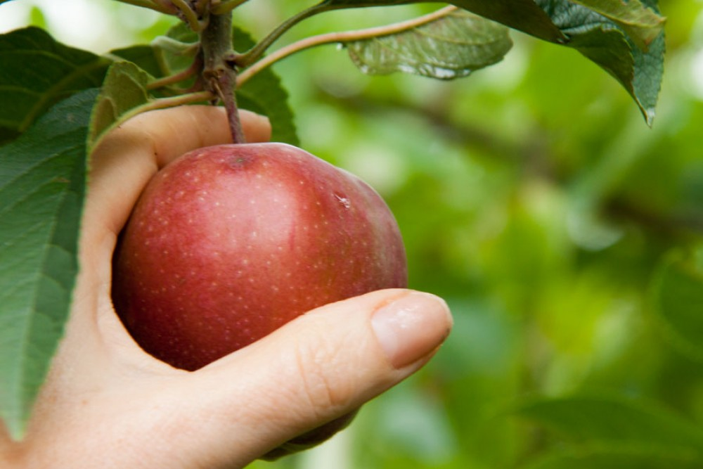 Über Rosen lässt sich dichten, in Äpfel muss man beißen …