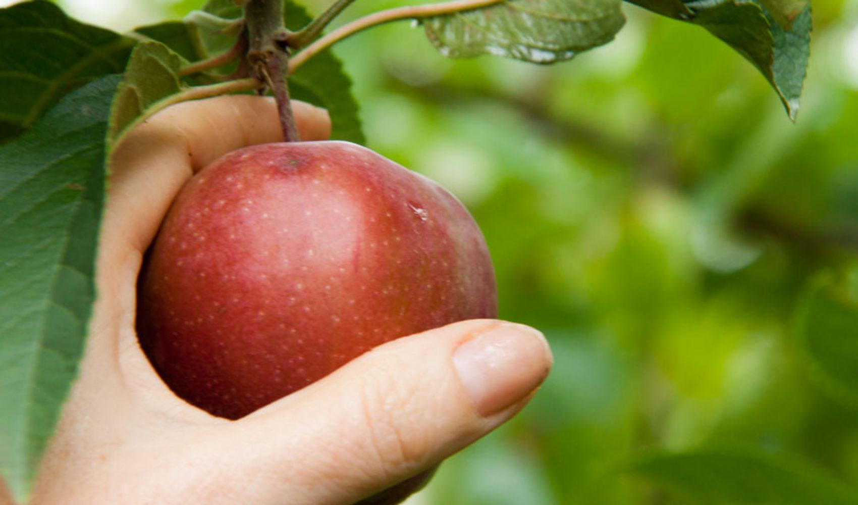 Apfelmus -Über Rosen lässt sich dichten, in Äpfel muss man beißen …