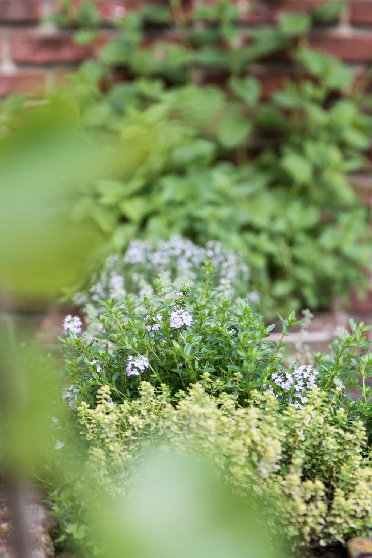 Thymian im Garten steinbauer-groetsch©2016
