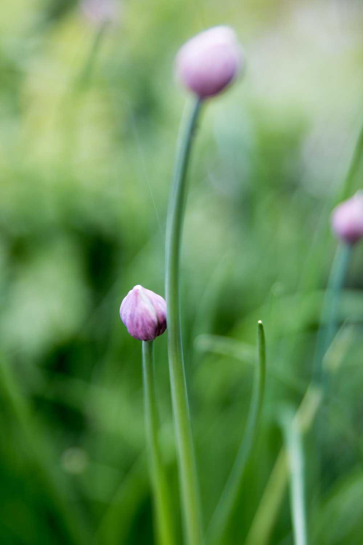 Schnittlauch Blüten steinbauer-groetsch©2016
