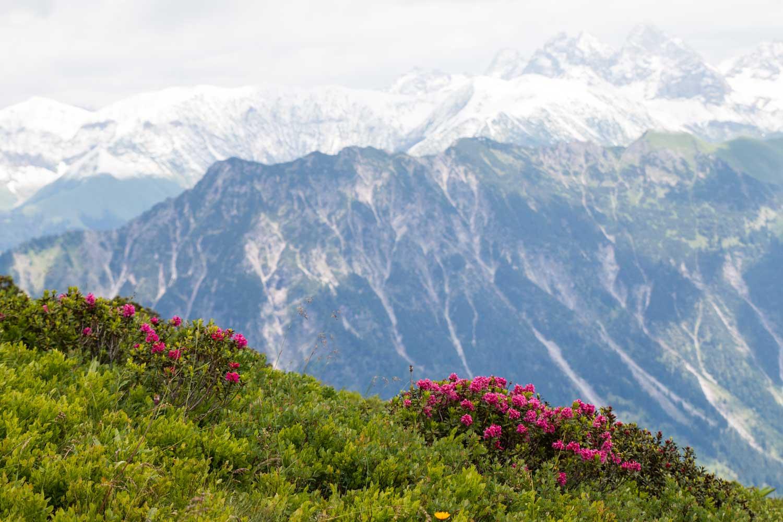 Alpenrosen Fellhorngrat