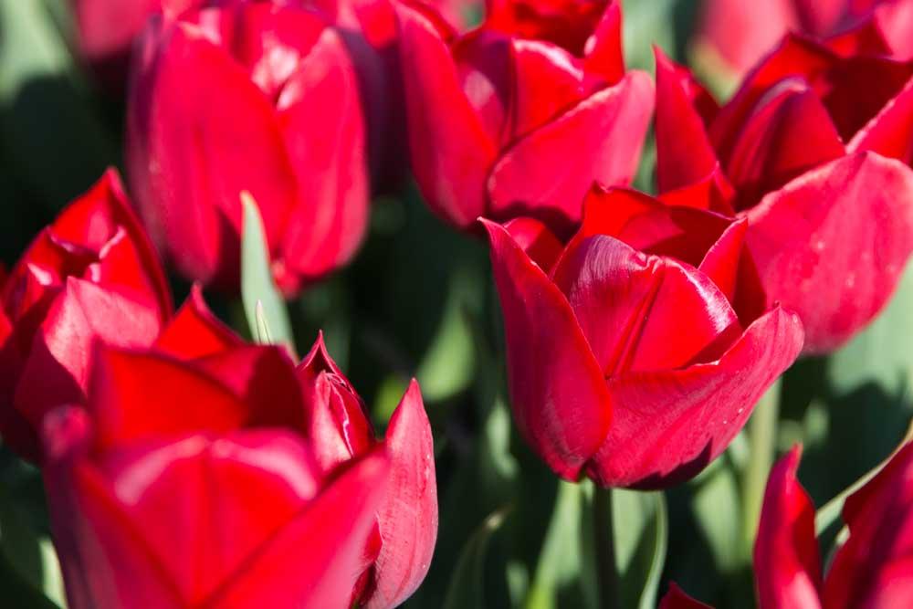 Kurzurlaub in Holland Tulpen Niederlande