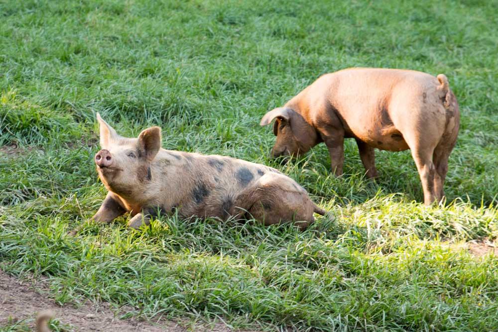 Weideschweine Schwabhof