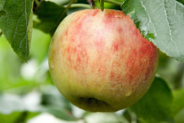 Apfelmus Rezept